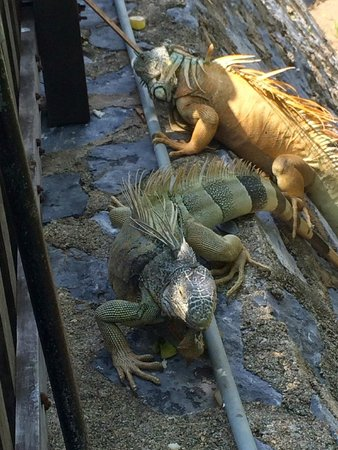 Club Med Ixtapa Pacific : Club Med Ixatapa - iguanas
