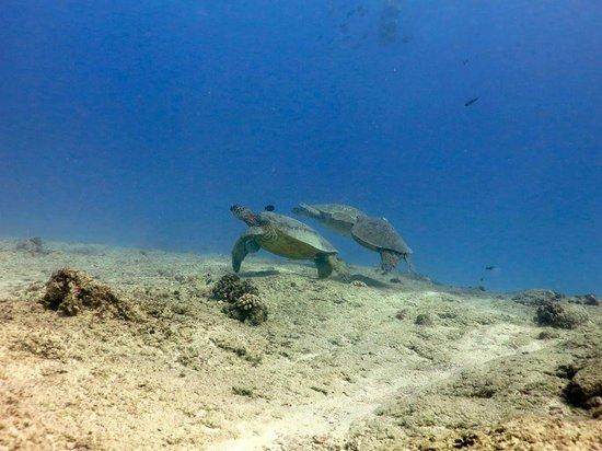 Reef Pirates Diving: Turtles at Koko