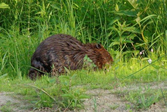 Sauble Falls Provincial Park : Beaver on river shore