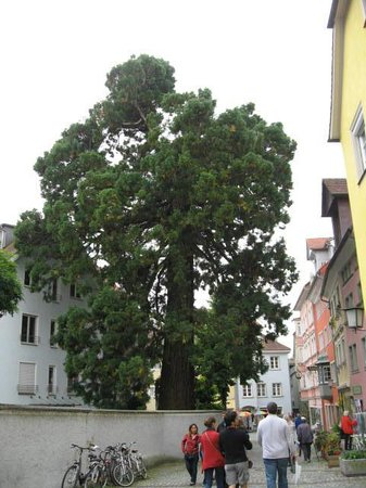 Historic Town Hall: Giant Sequoia in Lindau