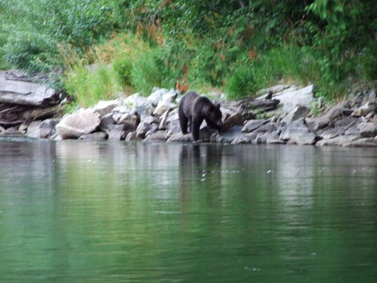 Bella Coola Mountain Lodge: Grizzly bears