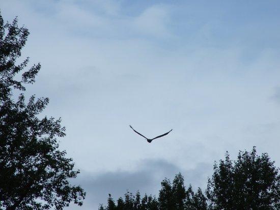 Bella Coola Mountain Lodge: Eagle flying