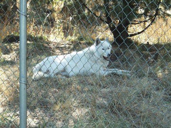 Wolf Haven International: Beautiful wolf # 1