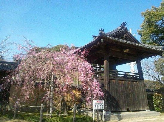 Kozanji Temple: しだれ桜