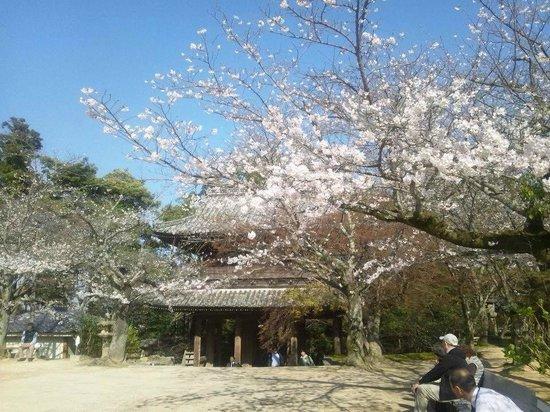 Kozanji Temple: 桜