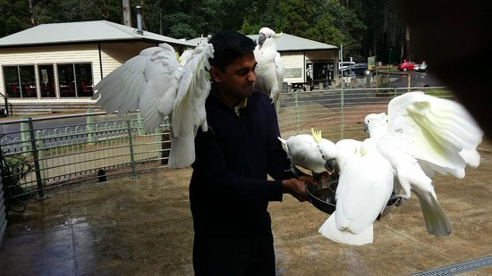 Dandenong Ranges: Feeding the Sulphur-crested cockatoo