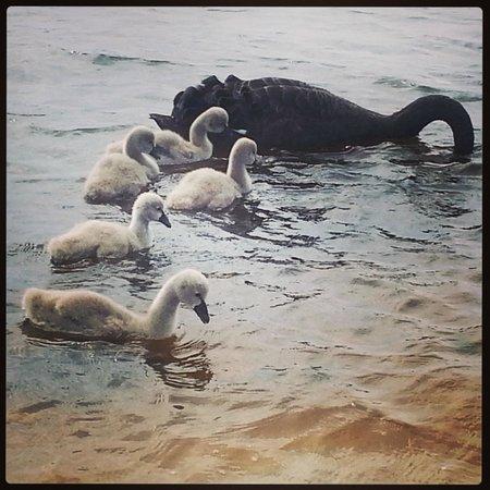Swan River: Swanning around