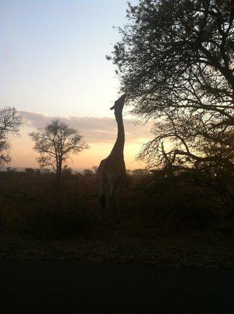 Amigo Lodge : Girafa en el kruger