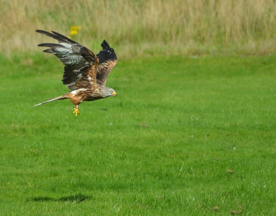Red Kite Feeding Station & Rehabilitation Centre: About to eat...