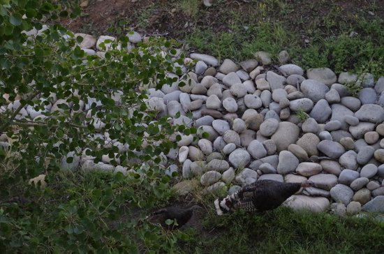 Flagstone Meadows Ranch Bed and Breakfast: Wild Turkeys