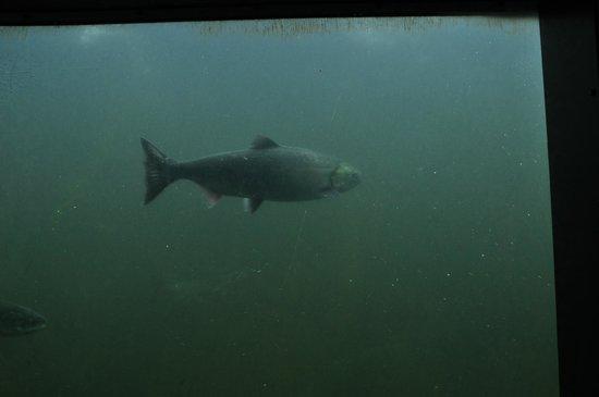 Shutter Tours - Day Tours : Salmon at the Ballard Locks