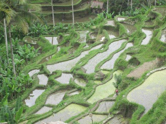 Private Driver in Bali - Made Dodi 'Family Team': Bali rice fields