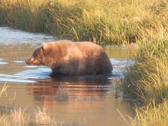 Kodiak Island Van Tours: Kodiak Bear/picture taken during tour