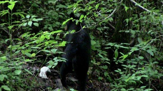 Gatlinburg Scenic Overlook : bear