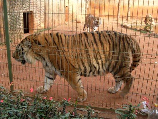 Zoologico de Americana: tigre