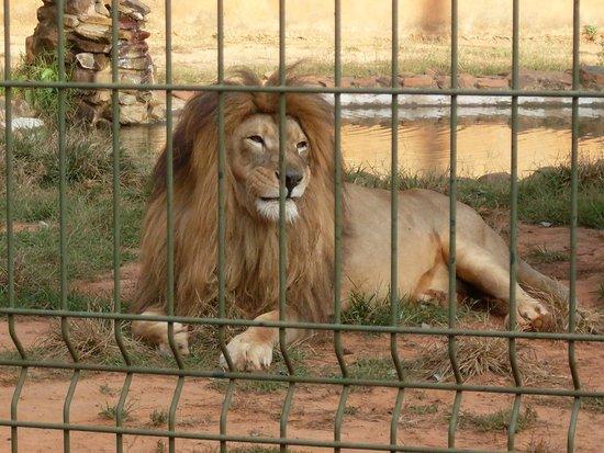 Americana, SP: Leão