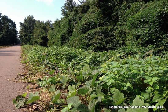 "Pontotoc, MS: ""Kudzu Valley""  It covers Everything not moving..."