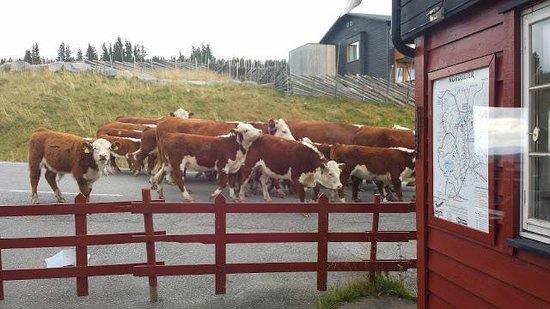 Lillehammer Fjellstue: kuer på tur
