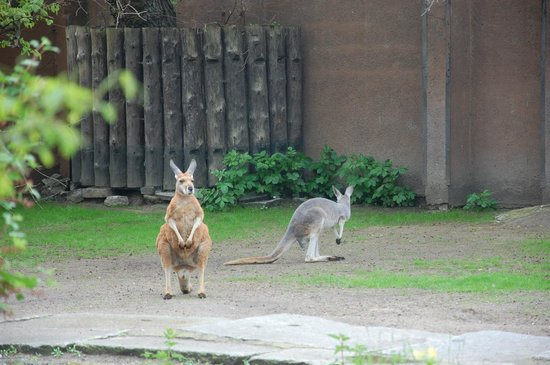 Wroclaw Zoo & Afrykarium : Kangury