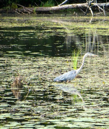 Tomifobia Nature Trail: Blue Heron