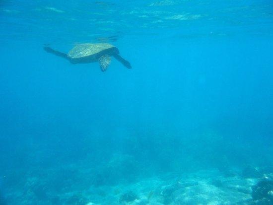 Snorkeling W Honu Mauna Lani Beach Club