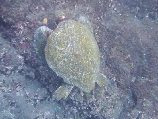 Galapagos Experience: Sea turtles while snorkeling