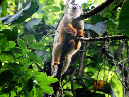 Corcovado National Park: リスサル