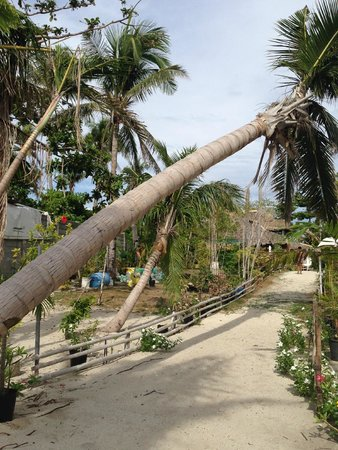 AABANA Beach & Watersport Resort: Pathway from beach front to the cottages. The fallen coconut tree is due to typhoon Yolanda.