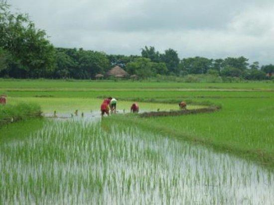 Rice fields around the resort - Picture of Lake Twenty