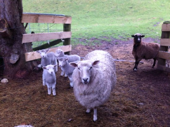 Lakeview Heights Farm Stay: Even the sheep are friendly