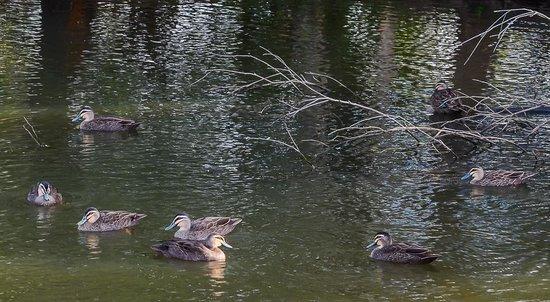 Sherwood Arboretum: Pacific Black Ducks