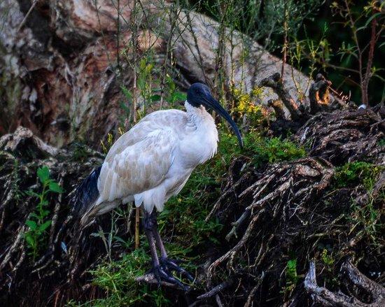 Sherwood Arboretum: Australian White Ibis