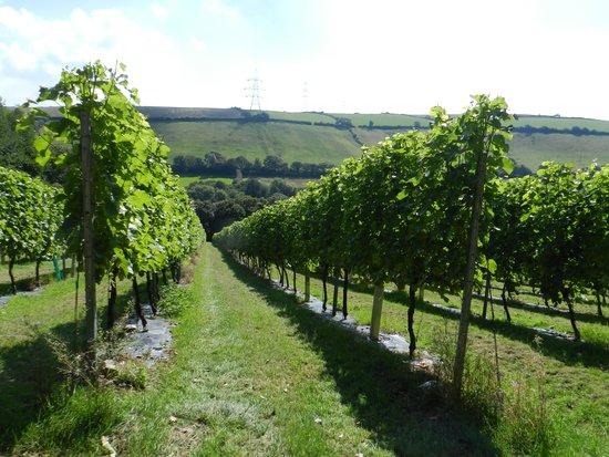 Camel Valley Vineyard: the vines