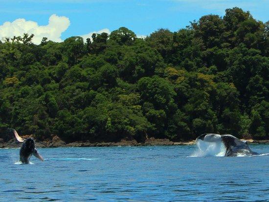 Drake Bay, Costa Rica: 親子鯨が遊ぶ