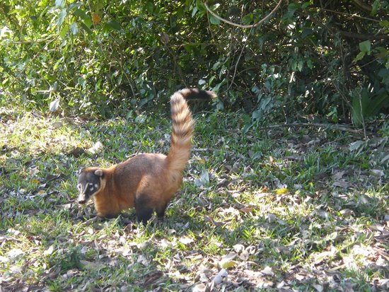 Pouso Alegre Lodge: We spotted this coati on the way to the lodge
