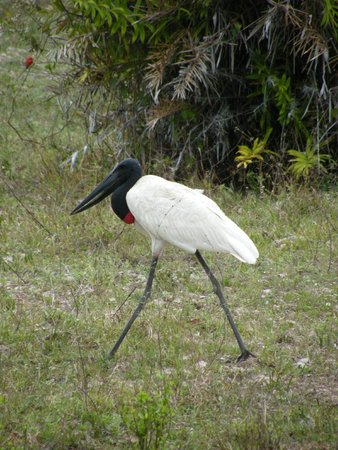 Pouso Alegre Lodge: You'll see these beautiful storks strolling by