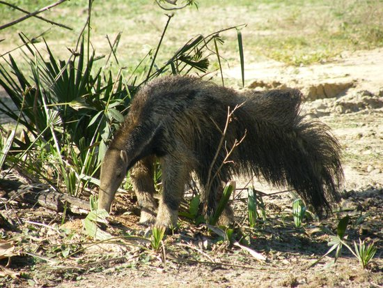 Pouso Alegre Lodge: This giant anteater came round one afternoon and stayed for a few hours