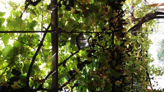 Trattoria da Picchietto : il pergolato fruttuoso in settembre.