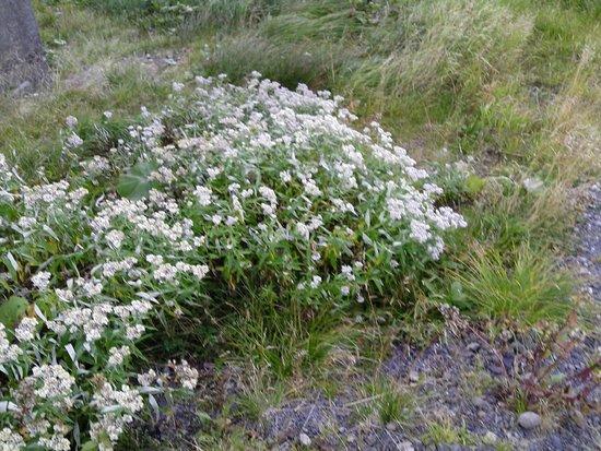 Asahidake Natural Hiking Route: 探索路周囲に咲く花 8月31日撮影