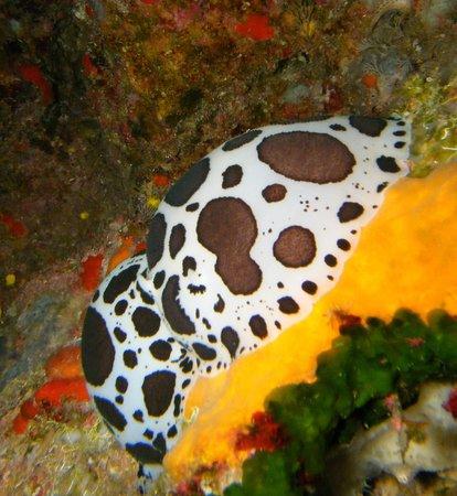 Utina Diving College Limited: Peltodoris atromaculata (I think)
