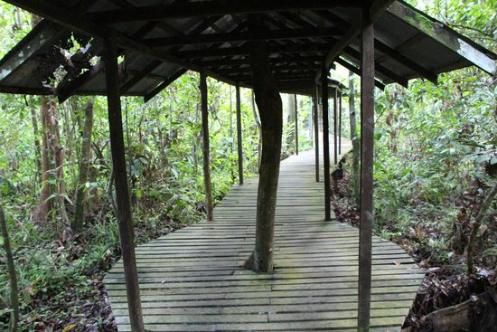 Sukau Rainforest Lodge: hornbill walkway behind lodge