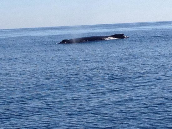 SpringTide Whale Watching & Charters : Humpback Whale sighting on Springtide Zodiac Tour!