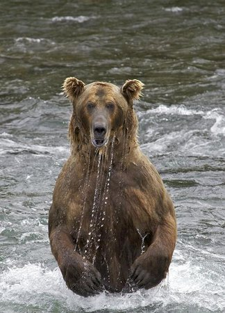 Brooks River: Fishing Grizzly