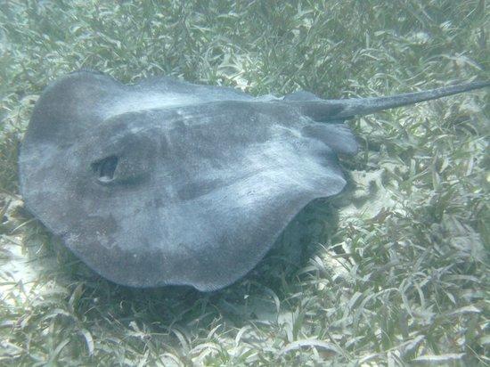 Caveman Snorkeling Tours: Caribbean ray