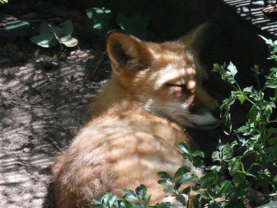 Brookgreen Gardens: Sleeping Fox
