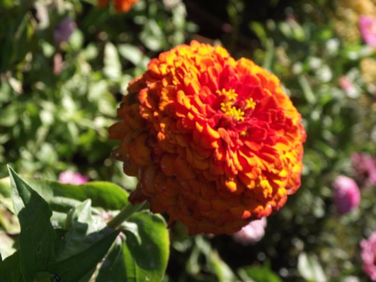 Portsmouth, NH: PRESCOTT PARK - ZINNIA ELEGANS - ORANGE GOLD