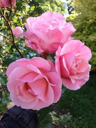 The Orchard: Roses in the yard