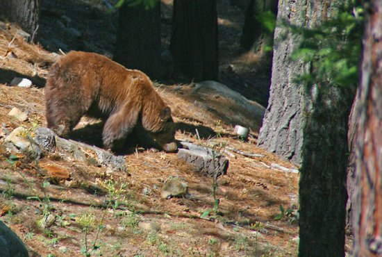 Yosemite Peregrine Lodging: A bear in our back yard. This male, among others is a regular visitor.