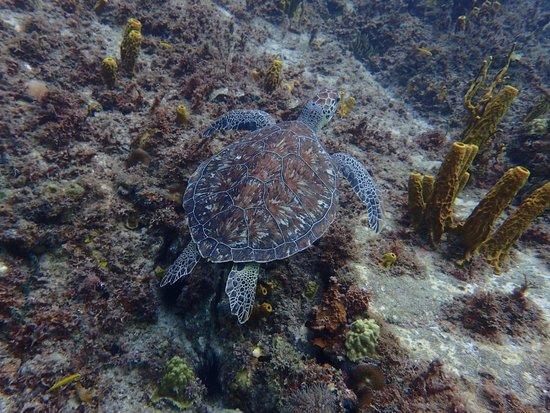 Alpha Plongée Martinique : Tortue vue lors d'une plongée dérivante à la pointe Burgos