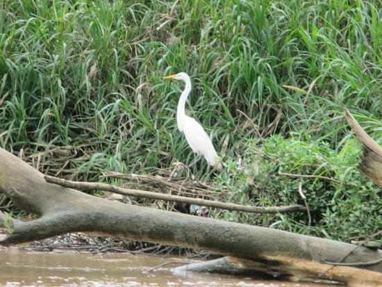 Ricky Ricardo Tours and Travels: Egret on the Tarcoles River